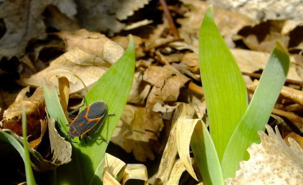 Box Elder Bug & Iris